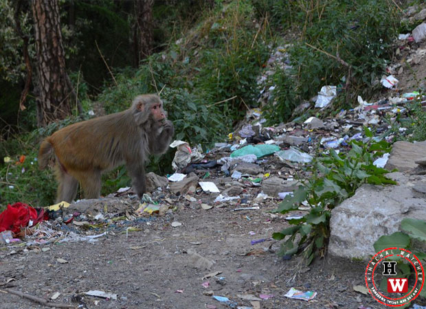 monkey-menace-due-to-garbage