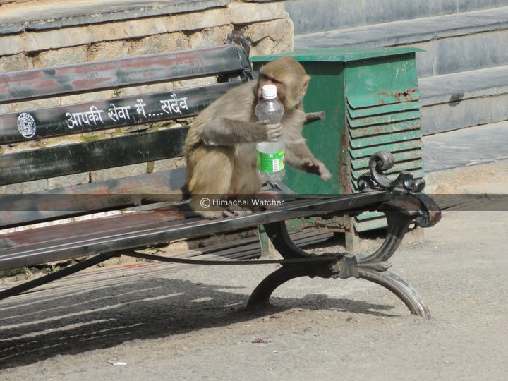 monkeys-in-shimla