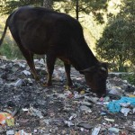 shimla-cows-eating-plastic