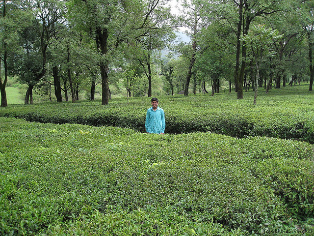 kangra-tea-garden