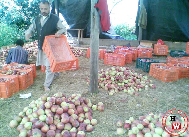 himachal-apples-chopal