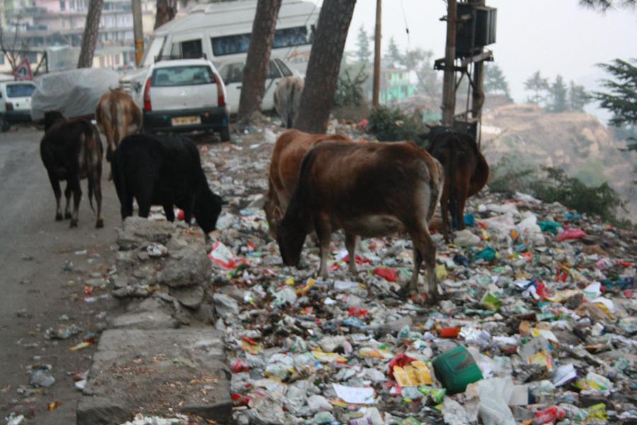 stray cattles,shimla