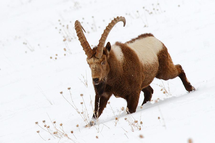 Ibex animal himachal