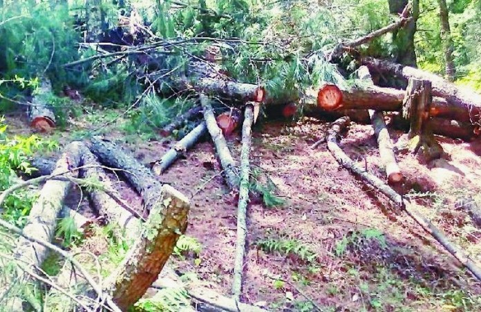 Trees Felling in Rohru