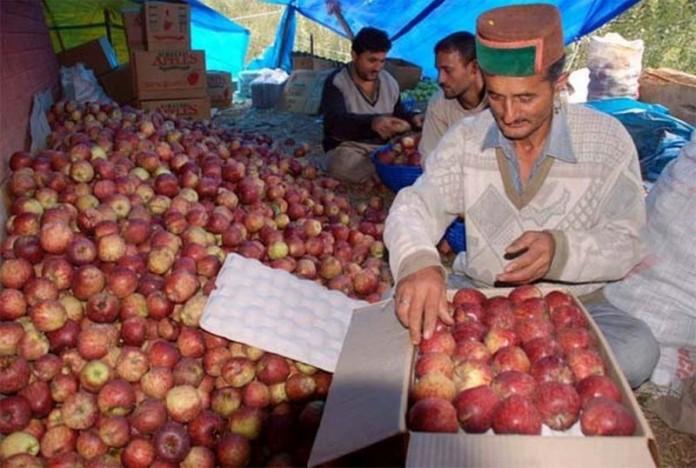 apples-himachal