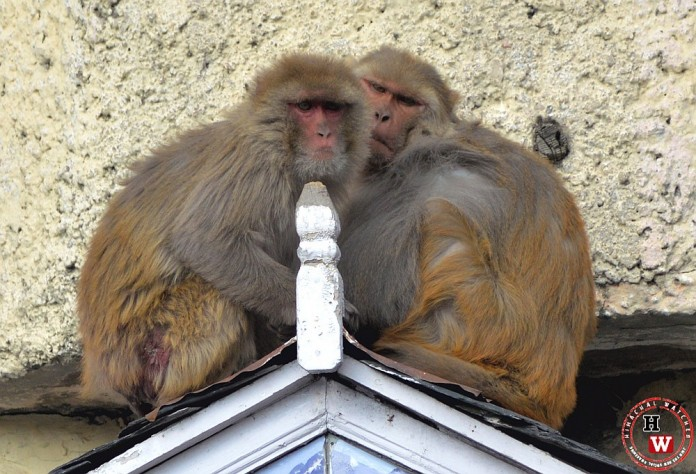 monkey culling in Himachal