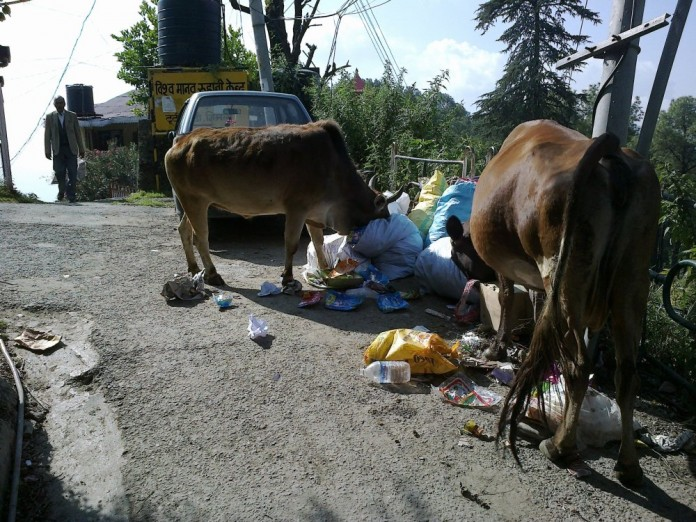 Stray Cows in Himachal