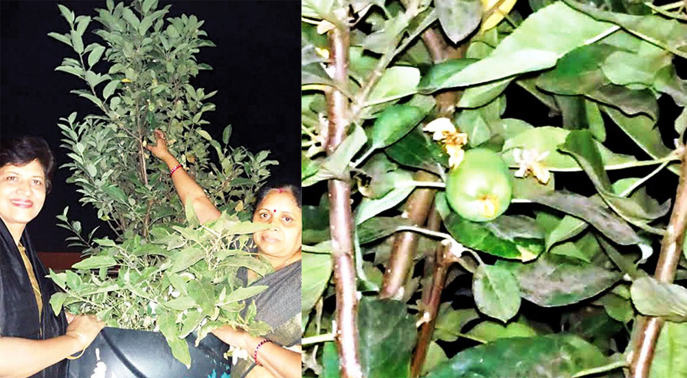 Himachal-Apple-Tree-in-South-India
