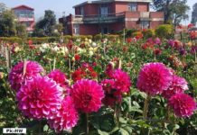 Dahlia in full bloom at RHRTS Dhaulakuan