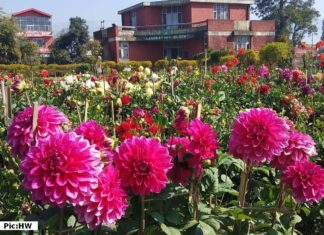 Dahlia in full bloom at RHRTS Dhaulakuan